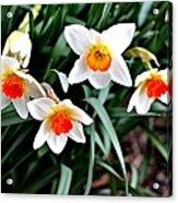 Covenant Daffodils Acrylic Print