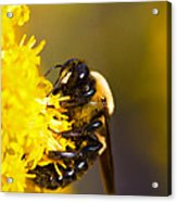 Covered In Pollin Acrylic Print