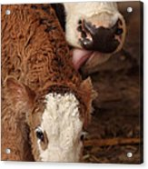 Cow And Calf Acrylic Print