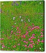 Cow Clover And Ox-eye Daisies On Campobello I Acrylic Print