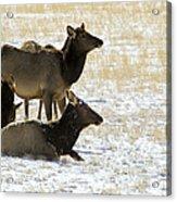 Cow Elk   #0460 Acrylic Print