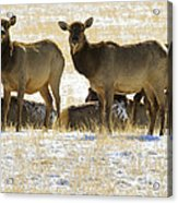 Cow Elk   #0479 Acrylic Print