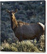 Cow Elk    #7533 Acrylic Print