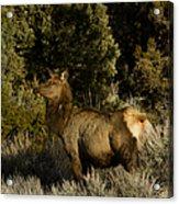 Cow Elk   #7582 Acrylic Print