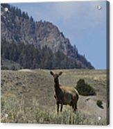 Cow Elk   #9488 Acrylic Print