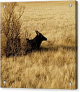 Cow Elk Acrylic Print by Johanna Elik