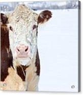 Cow - Fine Art Photography Print Acrylic Print