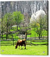 Cow Grazing In Pasture In Spring Acrylic Print