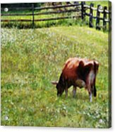 Cow Grazing In Pasture Acrylic Print
