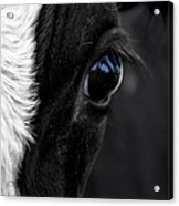 Cow Hey You Looking At Me Acrylic Print