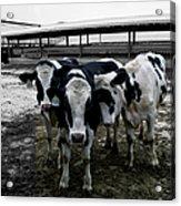 Cow Hugs Acrylic Print