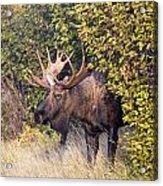 Cow Hunter Acrylic Print