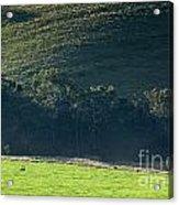Cow In Field Acrylic Print