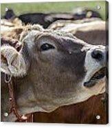 Cow In Heiterwang Acrylic Print