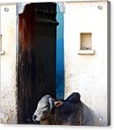 Cow In Temple Udaipur Rajasthan India Acrylic Print