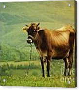 Cow In The Field Acrylic Print by Jelena Jovanovic