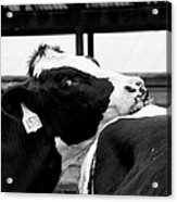 Cow Just Resting His Chin Acrylic Print