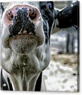 Cow Kiss Me Acrylic Print