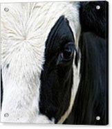 Cow Left Profile Acrylic Print