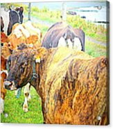 Cows Are Also Having Their Meetings  Acrylic Print