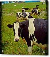 Cow On Farm Version - 2 Acrylic Print