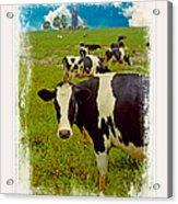 Cow On Farm Version - 3 Acrylic Print