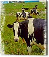 Cow On Farm Version - 4 Acrylic Print