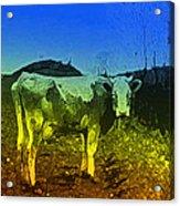 Cow On Lsd Acrylic Print