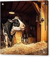Cow On The Farm Acrylic Print