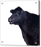 Cow On White Acrylic Print