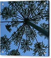 Cow Parsley Outlined Against A Summer Sky Acrylic Print