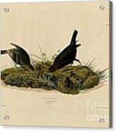 Cow-pen Bird Acrylic Print