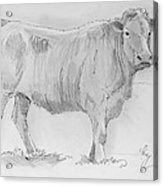 Cow Pencil Drawing Acrylic Print