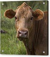 Cow Portrait I Acrylic Print