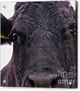 Cow Pretending To Be A Bull Acrylic Print