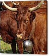 Cow Salers Acrylic Print