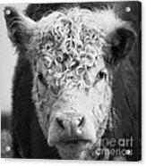 Cow Square Acrylic Print