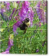 Cow Vetch Wildflowers And Bumble Bee Acrylic Print