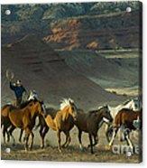 Cowboy Driving Horses Acrylic Print