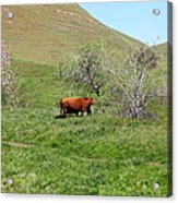 Cows Along The Rolling Hills Landscape Of The Black Diamond Mines In Antioch California 5d22303 Acrylic Print by Wingsdomain Art and Photography