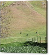Cows Along The Rolling Hills Landscape Of The Black Diamond Mines In Antioch California 5d22319 Acrylic Print by Wingsdomain Art and Photography