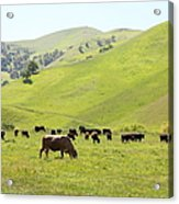 Cows Along The Rolling Hills Landscape Of The Black Diamond Mines In Antioch California 5d22328 Acrylic Print