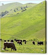 Cows Along The Rolling Hills Landscape Of The Black Diamond Mines In Antioch California 5d22329 Acrylic Print