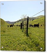Cows Along The Rolling Hills Landscape Of The Black Diamond Mines In Antioch California 5d22339 Acrylic Print by Wingsdomain Art and Photography