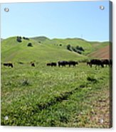 Cows Along The Rolling Hills Landscape Of The Black Diamond Mines In Antioch California 5d22346 Acrylic Print