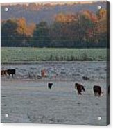 Cows At Sunrise Acrylic Print