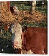 Cows At Work 2 Acrylic Print by Odd Jeppesen