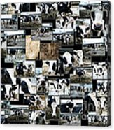 Cows Collage Acrylic Print