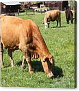 Cows Home On The Ranch At The Black Diamond Mines In Antioch California 5d22358 Acrylic Print by Wingsdomain Art and Photography