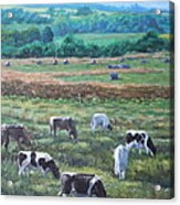 Cows In A Field In The Devon Countryside Acrylic Print